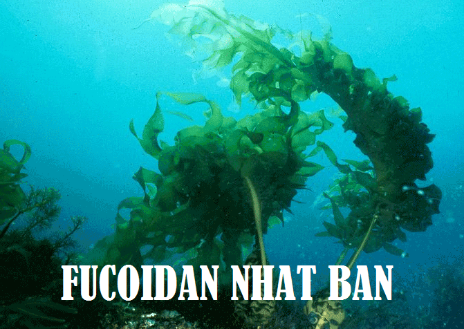 Bạn muốn biết: Fucoidan tăng hệ miễn dịch như thế nào?