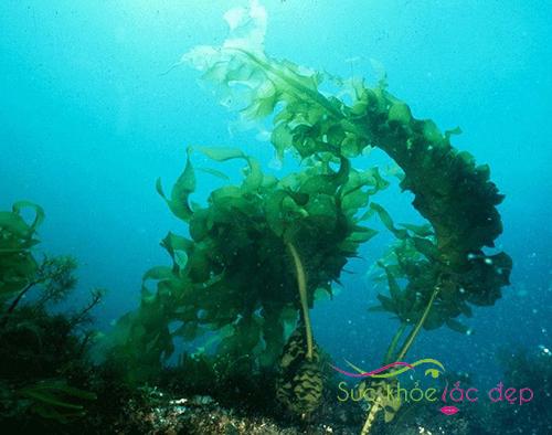 Fucoidan chiết xuất từ rong biển tự nhiên