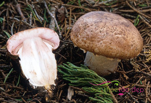 Nấm Agaricus - Thành phần viên thể nấm Agaricus Nhật Bản
