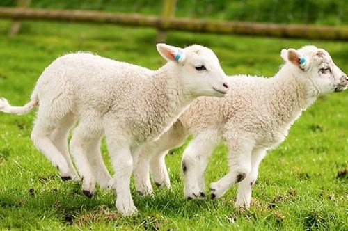 Tác dụng của nhau thai cừu là gì?