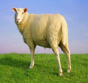 Uống nhau thai cừu có tác dụng gì