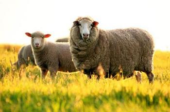 Công dụng của Nhau thai cừu