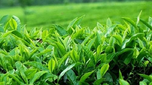 cách trị mụn đỏ tấy bằng trà xanh