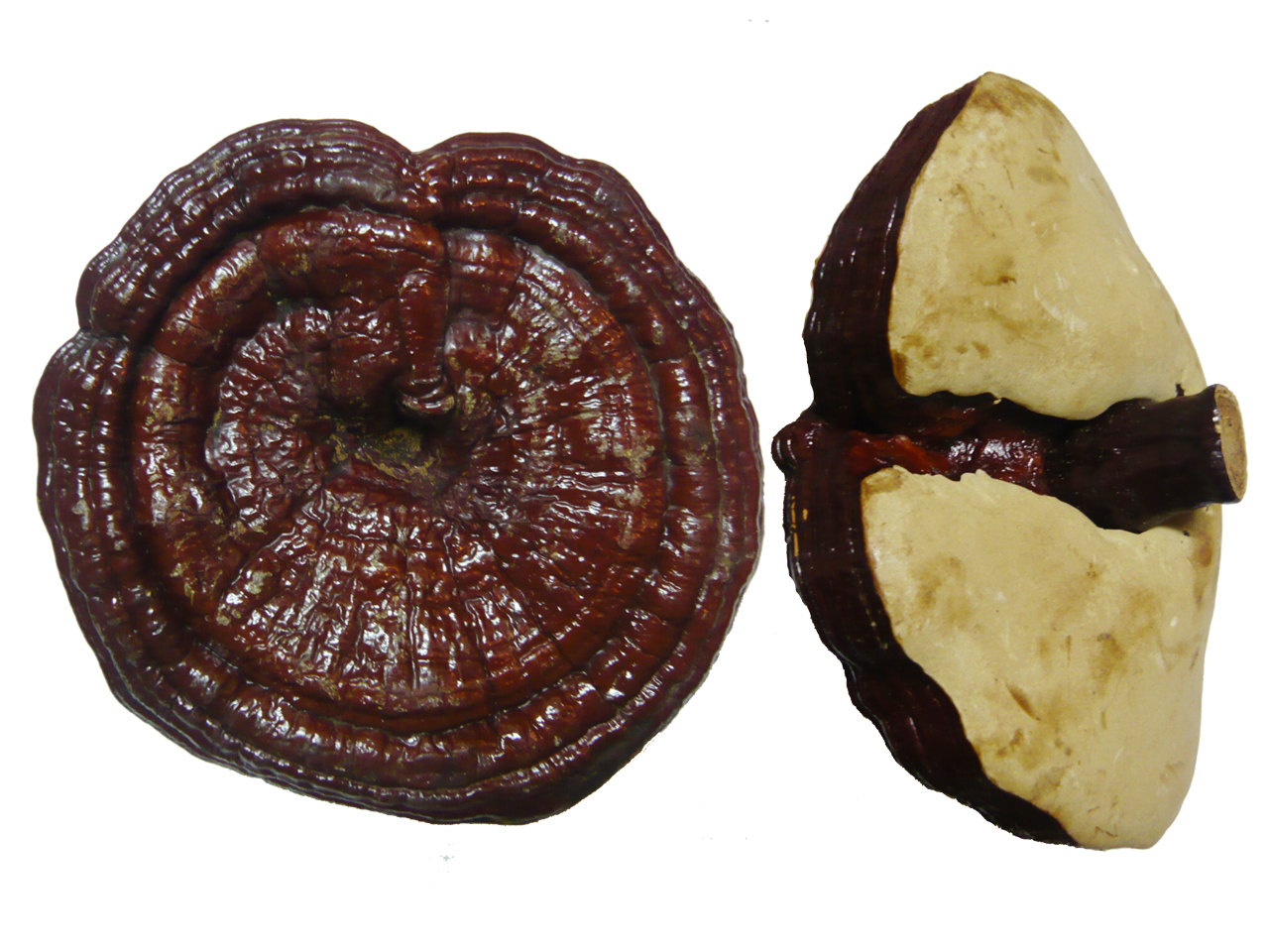 Công dụng nấm linh chi Hàn Quốc tai to đóng khay với sức khỏe
