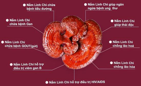 Nấm linh chi xanh Tiên Phước hồng chi 0,5kg với sức khỏe con người