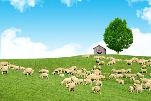 nhau thai cừu úc