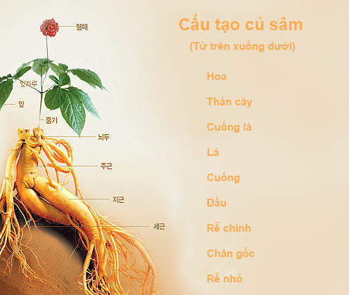 Thành phần của Sâm tươi Hàn quốc 6 củ trên 1kg