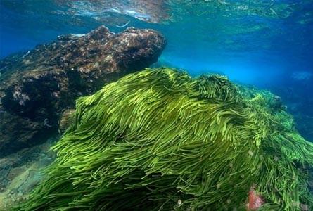 Tảo biển của Nhật Bản giúp làm đẹp da tuyệt vời