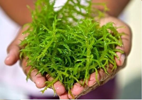 Tác dụng tuyệt vời của tảo biển Spirulina Nhật Bản